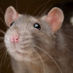 01-rat-friends-nationalgeographic_1162144